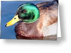 Mallard Drake Portrait Greeting Card