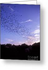 Mexican Freetail Bats Greeting Card