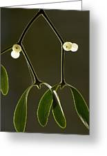 Mistletoe (viscum Album) Greeting Card