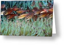 Moluccan Cardinalfish Greeting Card