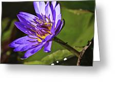 Nymphaea 'panama Pacific' Greeting Card