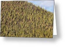 Organ Pipe Cactus Stenocereus Thurberi Greeting Card
