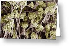 Penicillium Fungus, Sem Greeting Card