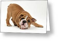Playful Bulldog Pup Greeting Card