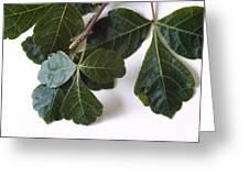 Poison Oak Branch Greeting Card