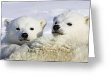Polar Bear Ursus Maritimus Three Greeting Card