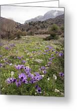Poppy Anemone Flowers (anemone Coronaria) Greeting Card