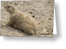 Prairie Dog Greeting Card by Odon Czintos