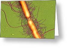 Proteus Vulgaris Bacteria, Sem Greeting Card