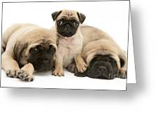 Pug And English Mastiff Puppies Greeting Card by Jane Burton