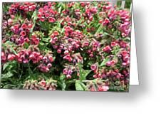 Pulmonaria Named Raspberry Splash Greeting Card