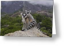Ring-tailed Lemur Lemur Catta Mother Greeting Card
