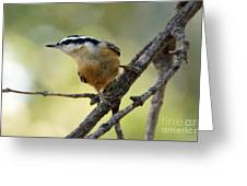 Rose Breasted Nuthatch Greeting Card