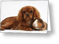 Ruby Cavalier King Charles Spaniel Pup Greeting Card