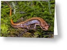 Seepage Salamander Greeting Card