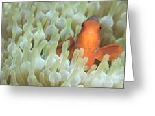 Spinecheek Anemonefish In Anemone Greeting Card