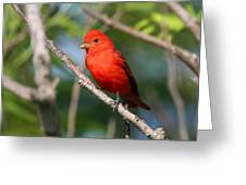 Summer Tanager Greeting Card