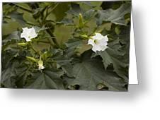 Thorn Apple (datura Stramonium) Greeting Card