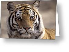 Tiger, Qinhuangdao Zoo, Hebei Province Greeting Card