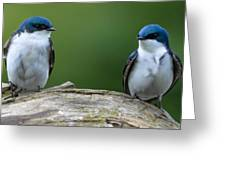 Tree Swallows Greeting Card
