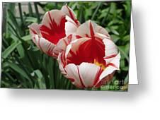 Triumph Tulip Named Carnaval De Rio Greeting Card