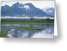 Trumpeter Swan Cygnus Buccinator Pair Greeting Card