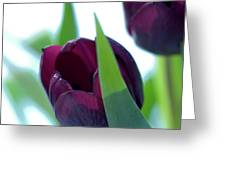 Tulip Flowers (tulipa Sp.) Greeting Card