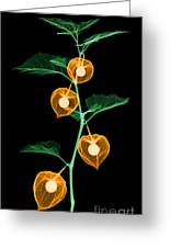 X-ray Of Chinese Lantern Plant Greeting Card