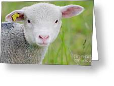 Young Sheep Greeting Card
