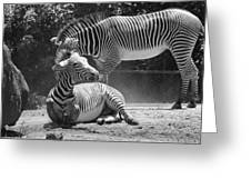 Zebras In Black And White Greeting Card