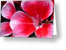 Zonal Geranium Named Candy Fantasy Kiss Greeting Card