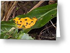 Harlequin Toad Greeting Card