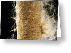 A Cattail Typha Latifolia Disperses Greeting Card