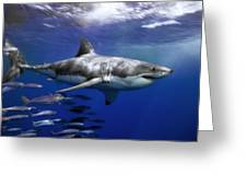 A Great White Shark Swims In Clear Greeting Card by Mauricio Handler