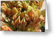 African Blood Lily Or Fireball Lily Greeting Card