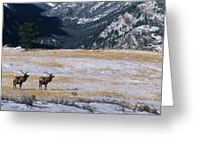 American Elk Cervus Elaphus Nelsoni Greeting Card