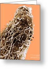 Bacteria On Sorghum Root Tip Greeting Card