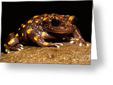 Chilean Mountains False Toad Greeting Card
