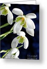 Common Snowdrop (galanthus Nivalis) Greeting Card