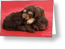 Doxie-doodle Puppies Greeting Card