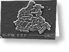 Escherichia Coli O157h7 Bacteria, Sem Greeting Card
