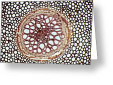 Fern Rhizome, Light Micrograph Greeting Card