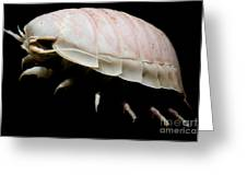 Giant Marine Isopod Greeting Card