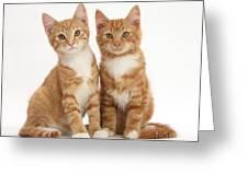 Ginger Kittens Greeting Card