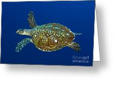 Hawksbill Sea Turtle, Kimbe Bay, Papua Greeting Card