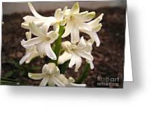 Hyacinth Named Aiolos Greeting Card