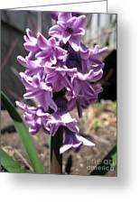 Hyacinth Named Splendid Cornelia Greeting Card