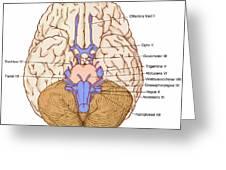 Illustration Of Cranial Nerves Greeting Card