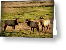 3 Magnificent Bull Elk Greeting Card