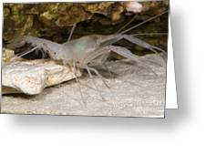 Mclanes Cave Crayfish Greeting Card